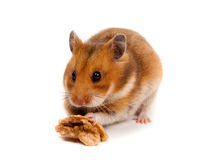 Syrian Hamster Goldhamster (Mesocricetus auratus) Royalty Free Stock Images