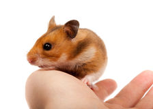 Syrian Hamster, Goldhamster (Mesocricetus auratus) Stock Photos