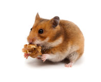 Syrian Hamster, Goldhamster (Mesocricetus auratus) Royalty Free Stock Photo