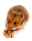 Syrian Hamster, Goldhamster (Mesocricetus auratus) Royalty Free Stock Photography