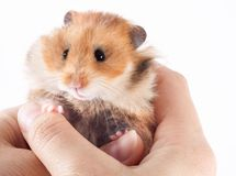 Syrian hamster in the hands of a human. Syrian hamster in the hands of a man on a white background royalty free stock images