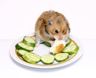 Syrian hamster on a plate with  cucumber and bread. Syrian hamster on a plate with green cucumber and bread Royalty Free Stock Images
