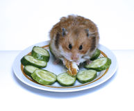 Syrian hamster on a plate with  cucumber and bread. Syrian hamster on a plate with green cucumber and bread Stock Photo
