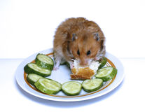 Syrian hamster on a plate with  cucumber and bread. Syrian hamster on a plate with green cucumber and bread Stock Images