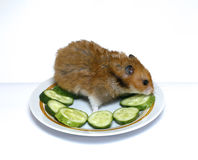 Syrian hamster on a plate with  cucumber. Syrian hamster on a plate with green cucumber Stock Photos