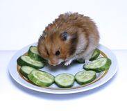 Syrian hamster on a plate with  cucumber. Syrian hamster on a plate with green cucumber Stock Photo