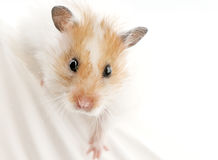 Syrian hamster portrait close-up Royalty Free Stock Images
