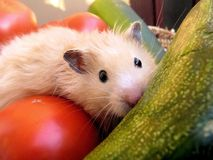Syrian hamster among vegetables Royalty Free Stock Photos