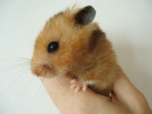 Syrian hamster. The Syrian hamster is a very fast deft nimble animal royalty free stock photos