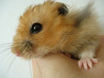 Syrian hamster. The Syrian hamster is a very fast deft nimble animal stock photography