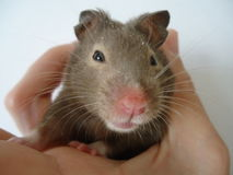Syrian hamster. The Syrian hamster is a very fast deft nimble animal royalty free stock image