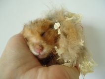 Syrian hamster. The Syrian hamster is a very fast deft nimble animal royalty free stock images