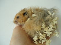 Syrian hamster. The Syrian hamster is a very fast deft nimble animal stock photo