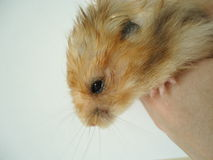 Syrian hamster. The Syrian hamster is a very fast deft nimble animal stock photos