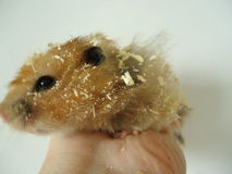 Syrian hamster. The Syrian hamster is a very fast deft nimble animal stock images