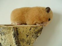 Syrian hamster. The Syrian hamster is a very fast deft nimble animal stock image
