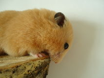 Syrian hamster. The Syrian hamster is a very fast deft nimble animal royalty free stock photo