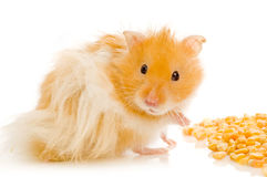 Syrian hamster Royalty Free Stock Photos