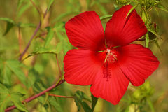 The Syrian hibiscus, garden flower. Red hibiscus close-up on a green background Royalty Free Stock Photo