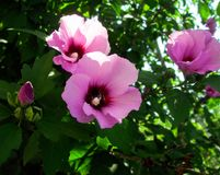 Syrian mallow flowers. Vibrant pink syrian mallow flowers on the bush Stock Photo