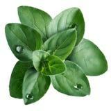 Syrian oregano (Origanum syriacum). Greek or syrian oregano (Origanum syriacum) leafs with droplets. Clipping path, infinite depth of field royalty free stock images