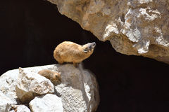 Syrian rock hyrax Royalty Free Stock Image