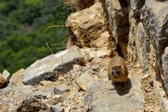 Syrian rock hyrax Stock Image