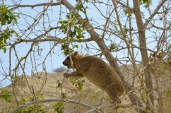 Syrian rock Hyrax. (Procavia capensis) medium-sized terrestrial mammal, found across Africa and the Middle East Stock Photos