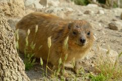 Syrian rock Hyrax. (Procavia capensis) medium-sized terrestrial mammal, found across Africa and the Middle East Royalty Free Stock Images
