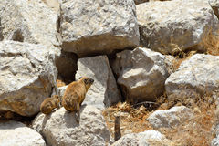 Syrian rock hyrax. (Procavia capensis) medium-sized terrestrial mammal, found across Africa and the Middle East Stock Photography