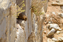 Syrian rock hyrax. (Procavia capensis) medium-sized terrestrial mammal, found across Africa and the Middle East Royalty Free Stock Image