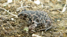 Syrian spadefoot Royalty Free Stock Photo