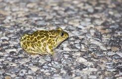Syrian Spadefoot Frog(Pelobates syriacus) Royalty Free Stock Photos