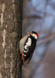 Syrian woodpecker. (dendrocopus syriacus) standing on tree trunk Stock Photo