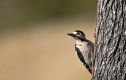 Syrian Woodpecker. Is about to peck a tree royalty free stock photos