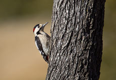 Syrian Woodpecker. Is pecking a tree royalty free stock images