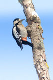 Syrian Woodpecker on branch / Dendrocopos syriacus Royalty Free Stock Photography