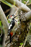 Syrian Woodpecker / Dendrocopos syriacus Royalty Free Stock Photography