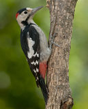 Syrian woodpecker (Dendrocopos syriacus) Royalty Free Stock Image