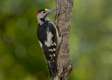 Syrian woodpecker (Dendrocopos syriacus) Stock Photos
