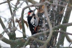 Syrian Woodpecker Dendrocopos syriacus. Male. Russia, the Ryazan region Ryazanskaya oblast, the Pronsky District, Denisovo Stock Photography
