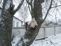 Syrian Woodpecker Dendrocopos syriacus. Male. Russia, the Ryazan region Ryazanskaya oblast, the Pronsky District, Denisovo Stock Photo