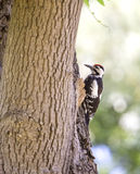 Syrian Woodpecker Royalty Free Stock Photos