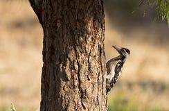 Syrian Woodpecker ( Dendrocopos syriacus) Stock Photography