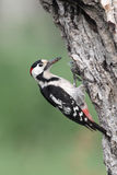 Syrian woodpecker, Dendrocopos syriacus, single male. At nest, Bulgaria, May 2010 Stock Image