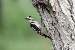Syrian woodpecker, Dendrocopos syriacus, single male. At nest, Bulgaria, May 2010 Stock Images