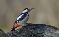Syrian woodpecker perched on a fallen trunk royalty free stock photos