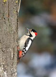 Syrian woodpecker on tree trunk Royalty Free Stock Photography