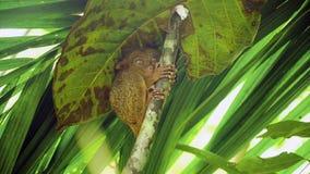 Syrichta de Tarsius más tarsier filipino divertido Bohol Filipinas Fotos de archivo libres de regalías