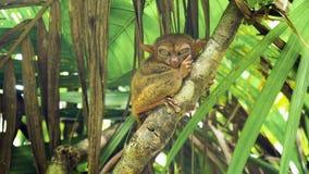 Syrichta de Tarsius más tarsier filipino divertido Bohol Filipinas foto de archivo libre de regalías